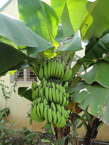 450px-A_banana_bunch_with_a_centralized_stem